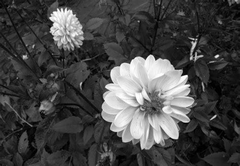 imagenes de flores grises fotograf 237 a creativa art 237 stica en blanco y negro por