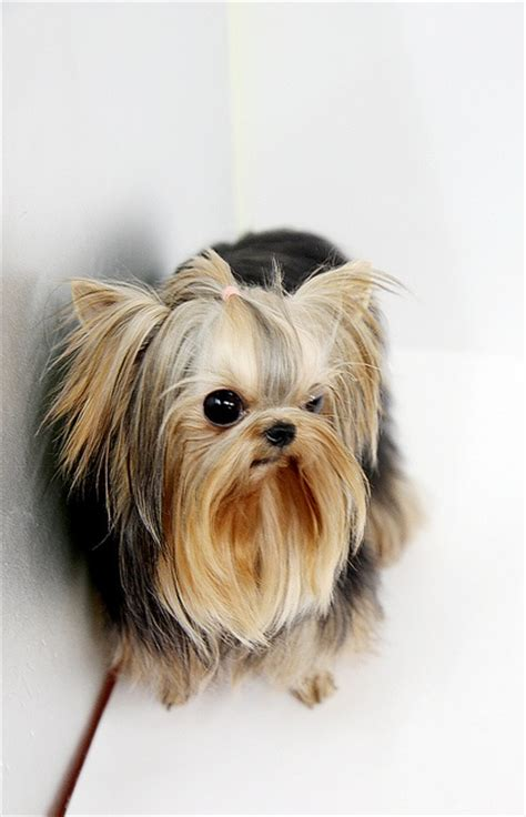 tea cup yorkie clothes 23 best images about favorite pets on safe place poodles and freeze