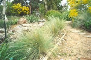 poa labillardieri is an large tussock grass used in landscaping native seeds pty ltd