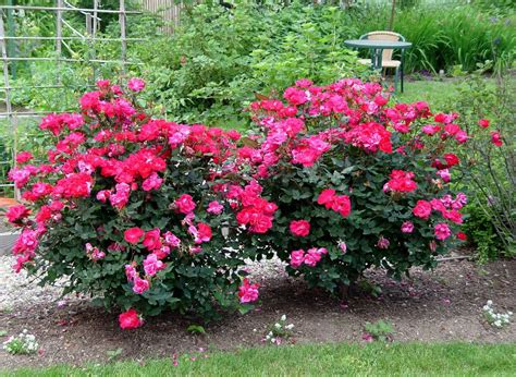 How To Care For Patio Roses by How To Care For Roses Wilson Garden