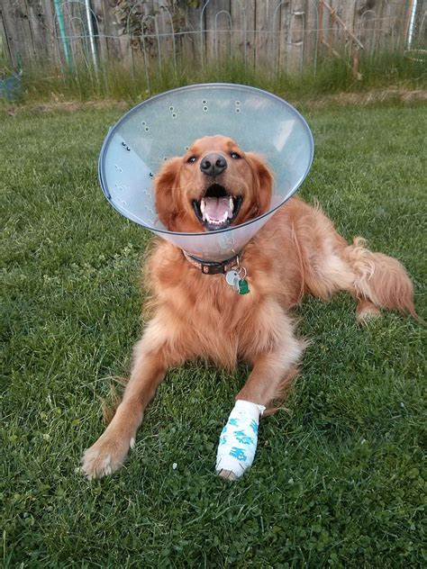 dew claws golden retriever file golden retriever with elizabethan cone jpeg wikimedia commons