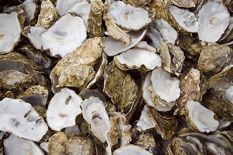 oyster shell oyster shells