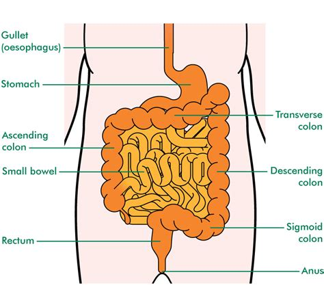 diagram of bowel what does the small intestine do applecool info