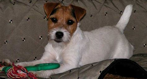haircut ideas for long hair jack russell dogs haircut ideas for long hair jack russell dogs jack