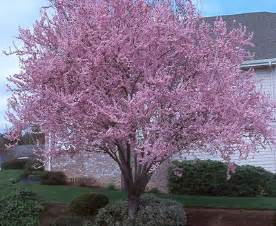 purple leaf plum prunus cerasifera thundercloud from