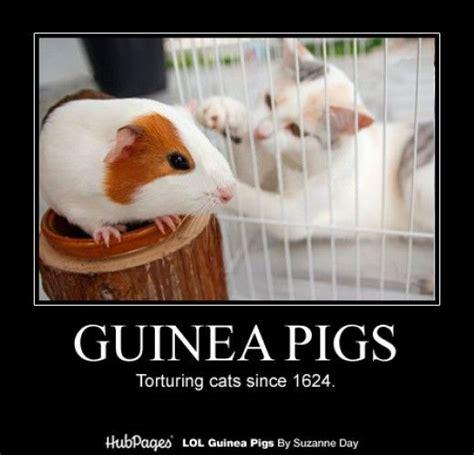Pig Meme - funny guinea pig photos cavy memes lol guinea pigs