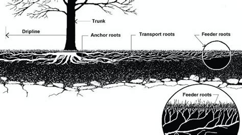Feeder Roots healthy trees need leg room forest connection news and in our dc
