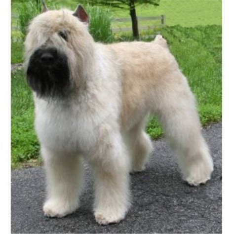 bouvier dogs bouvier des flandres breeders and kennels freedoglistings