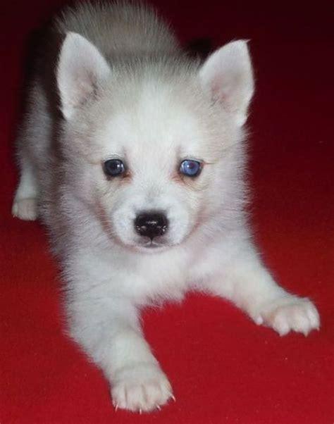 alaskan klee puppies for sale alaskan klee puppies for sale to homes