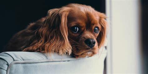 cagnolini da appartamento cani da appartamento quali sono le razze di taglia