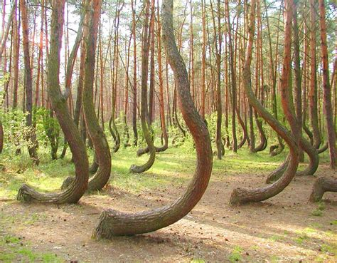 crooked forest poland crooked forest poland funny pictures quotes pics