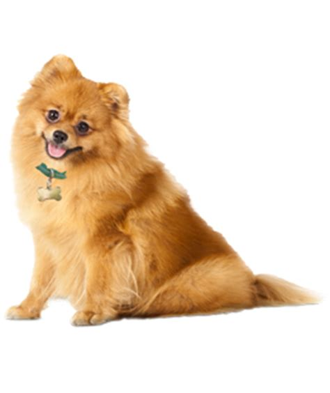 how to tell if your is a pomeranian pomeranian puppies dogs for adoption