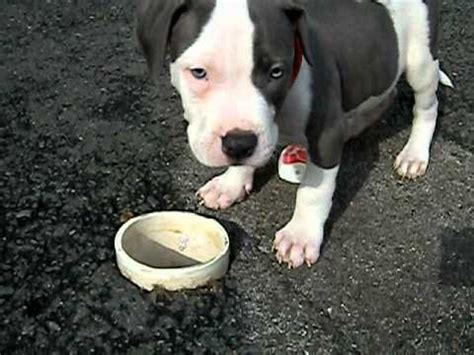 blue nose pitbull puppies for sale in florida blue nose pit bull puppy for sale in fort lauderdale florida 9542987340