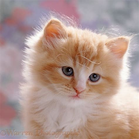 Cute ginger male kitten, 7 weeks old photo WP37689