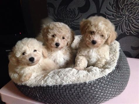 poochon puppies for sale poochon puppies for sale 1 boy left oldham greater manchester pets4homes