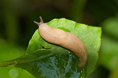 Garden Slug by Gray Garden Slug Photo Lloyd Spitalnik Photos At Pbase