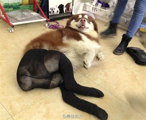 Pantyhose Meme - dogs wearing pantyhose meme walks line between cute and