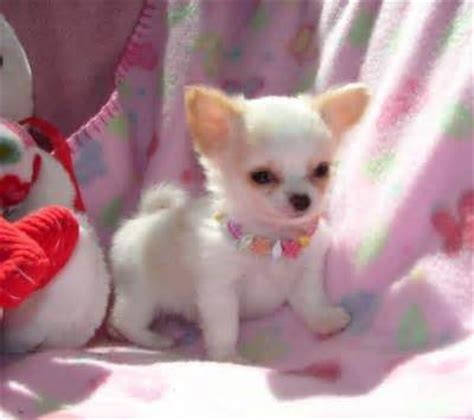free chihuahua puppies in indiana chihuahua puppies for free adoption