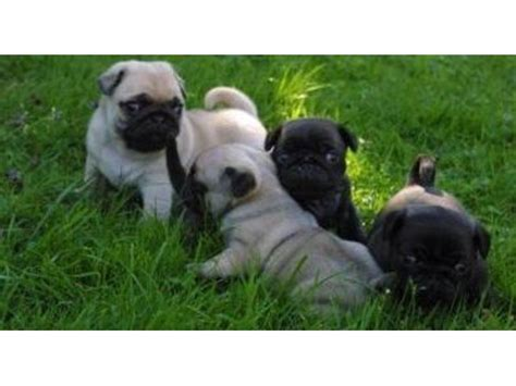pug puppies for sale 100 dollars zz akc reg fawn and black males and females pug puppies for sale 400 animals