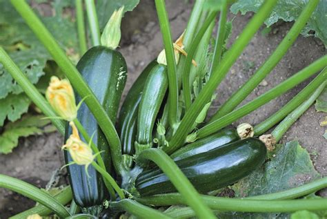 Planter Des Courgettes by Courgette Semer Et Planter Ooreka