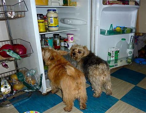 Dogs raiding the fridge