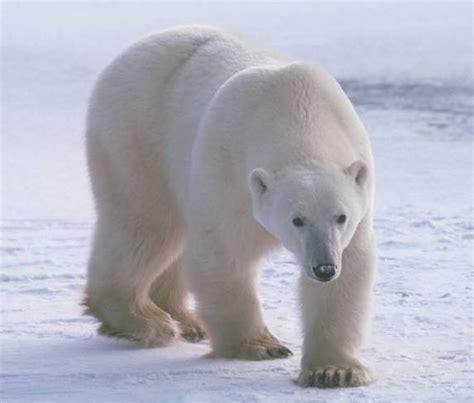 oso polar oso polar leer nos une el oso polar