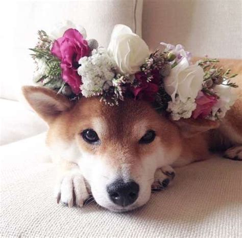 puppy with flowers 1000 ideas about shiba inu puppies on shiba inu shiba puppy and akita