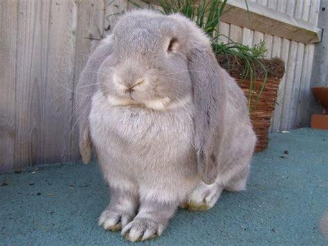 Lop Cd lop rabbit