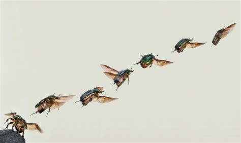 scarabeo volante fotografia scarabeo dorato volante imm 19533