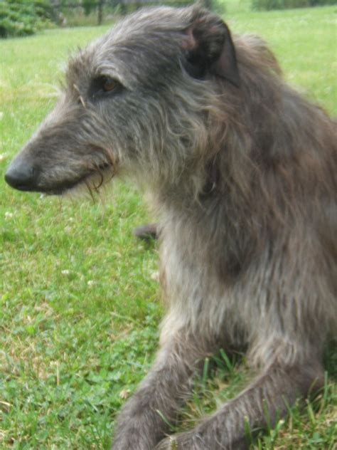 scottish deerhound puppies puppies pictures