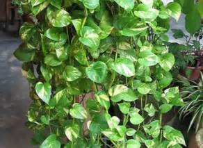 vine house plants top 10 natural eco friendly and anti pollutant