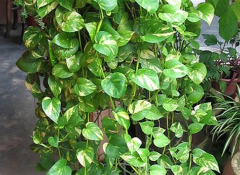 houseplant vine top 10 natural eco friendly and anti pollutant