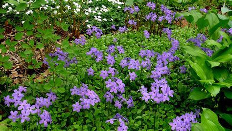 creeping phlox carolyn s shade gardens