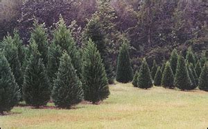mississippi christmas tree farm dabbs woodland farm 12143 school rd saucier ms location hours and website