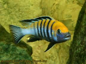 about Aquarium Love on Pinterest   Angelfish, Cichlids and Discus fish