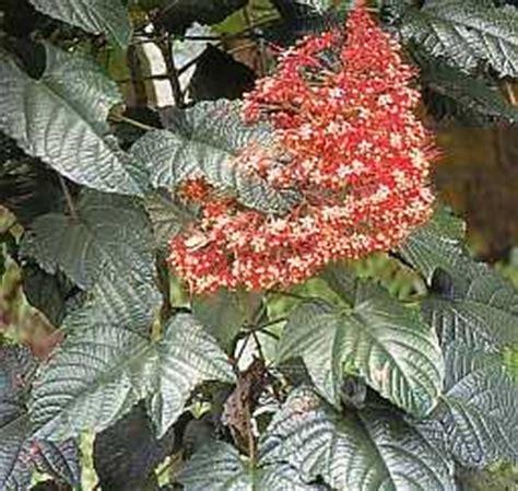 khasiat bunga pagoda informasi petani indonesia