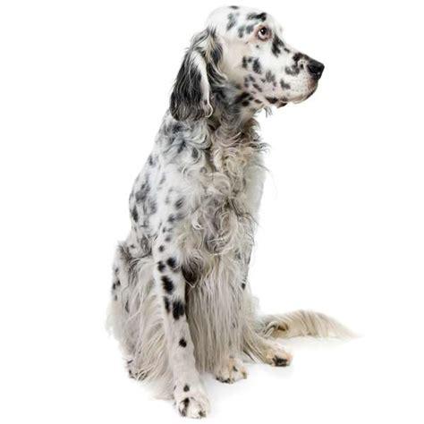 alimentazione setter inglese setter inglese scheda razza su cani it