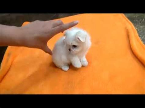 cup puppy tea cup maltese tiny size dogs for sale