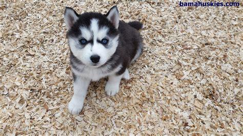 siberian husky puppy food should i feed my husky human food siberian husky puppies for sale