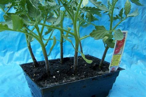 dirt variety gardeners dirt have bountiful tomato harvest with proper