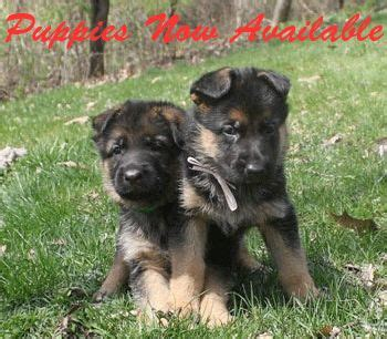 german shepherd puppies for sale in wi the world s catalog of ideas