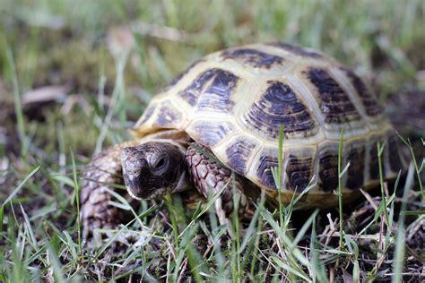 russian tortoises russian tortoise wikipedia