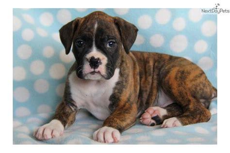 free boxer puppies in pa boxer puppy for sale near lancaster pennsylvania da55f97d c671