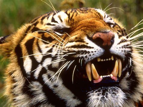 full wallpaper tiger wallpapers high resolution