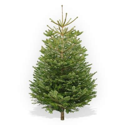 6ft premium nordmann fir spitalfields city farm