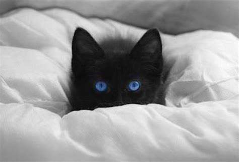 6 Cat Breeds With Blue Eyes   petMD