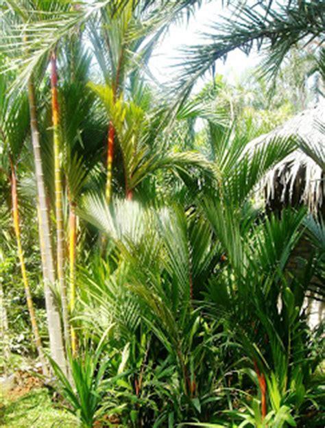 Tanaman Soka Kuning Jepang jenis tanaman hias roempoen bamboe landscape