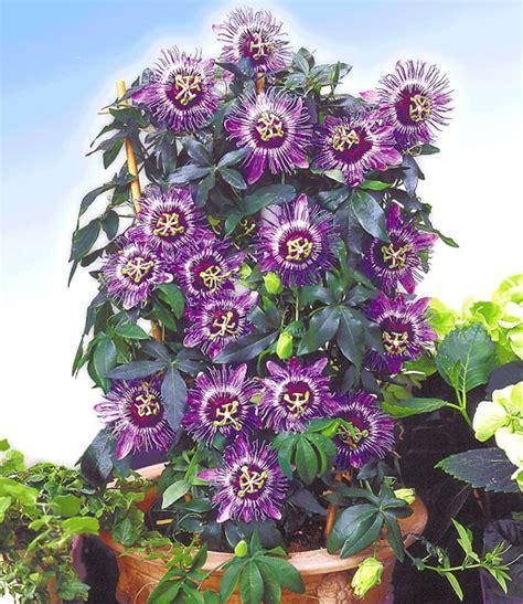 Passiflora Incarnata Pflanze Kaufen 3647 by Passionsblume Perfume Passionsblumen Bei