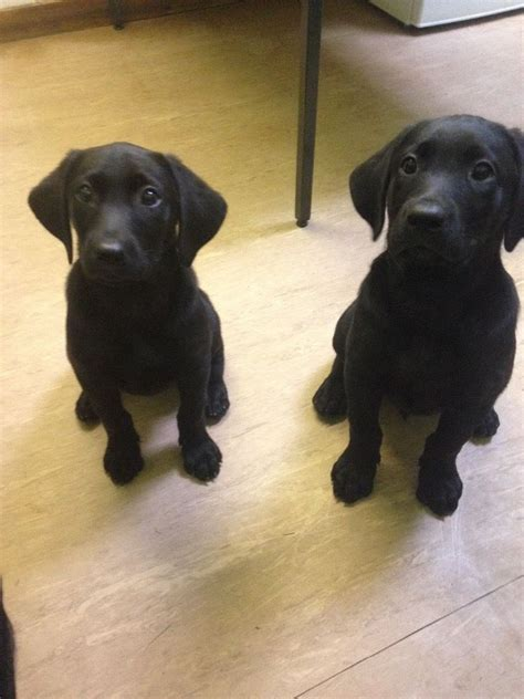 lab puppies for sale in colorado 4 lab puppies for sale bootle merseyside pets4homes