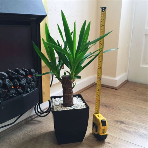 office house plant in square gloss black pvc pot